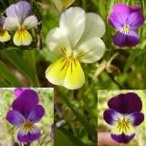 Viola tricolor varieties.