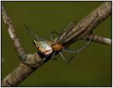 Basilica Spider (Mecynogea Lemniscata)