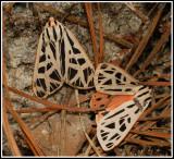 Doris Tiger Moth (Grammia doris)