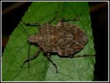 Stink Bug (Brochymena sp.)