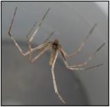 Ogrefaced Spider (Deinopis spinosa)