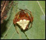 Triangle Orbweaver (Verrucosa arenata)