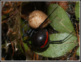 Northern Black Widow (Latrodectus variolus)