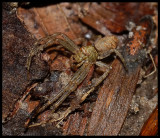 Twig Crab Spider (Tmarus rubromaculatus)