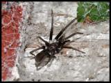 Female Southern Crevice Spider (Kukulcania hibernalis)