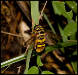 Yellowjacket Hover Fly (Milesia virginiensis)
