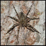 Fishing Spider (Dolomedes spp.)