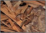 Spotted Camel Cricket (Ceuthophilus sp)