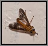 Deer Fly (Chrysops pikei)