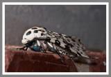 Giant Leopard Moth (Ecpantheria scribonia)