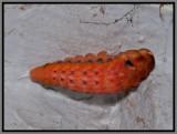 Spicebush Swallowtail (Papilio troilus) pupating