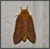 Orange-Tipped Oakworm (Anisota senatoria)