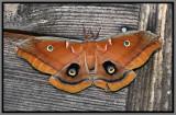 Polyphemus Moth (Antheraea polyphemus)