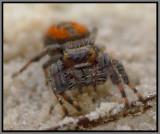 Jumping Spider (Phidippus clarus)