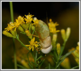 Green Horse Fly (Chlorotabanus crepuscularis)