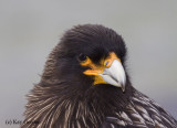 Portrait of a Striated Caracara