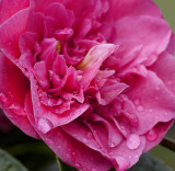 Last of the Camellias