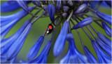Ladybird on Agapanthus