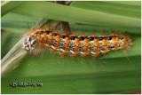 Cattail Moth Caterpillar Simyra insularis #9280