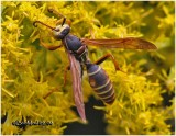 Northern Paper Wasp-Male