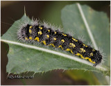 Smeared Dagger Moth Caterpillar Acronicta oblinita #9272