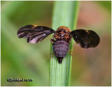 Fruit Fly-Female