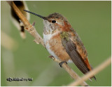 Rufous Hummingbird-Immature Male