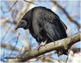 BLACK AND TURKEY VULTURES