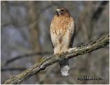Red-shouldered Hawk-Adult