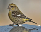 White-winged Crossbill-Female