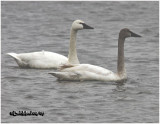 Tundra Swans-Adult and Juvenile