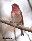 Purple Finch-Male