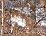 Leucistic White-tailed Deer