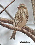 Purple Finch-Female