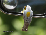 Northern Parula Admires Himself in Auto Mirror