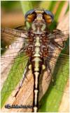 Lancet Clubtail-Thorax