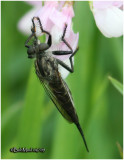 Robber Fly-Female