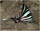 Zebra Swallowtail-Summer FormEurytides marcellus