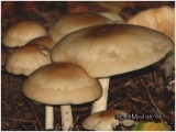 Fungi52
