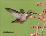 Ruby-throated Hummingbird-Female