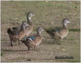 Wood Ducks-Juveniles