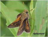 Crossline Skipper-Male