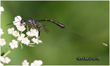 Gasteruptiid Wasp-Female