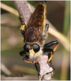 Red-footed Cannibalfly-Male