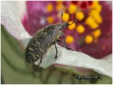 Canada Thistle Bud Weevil