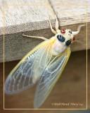 Cicada-Brood X-Nymph