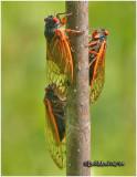 Cicadas-Brood X