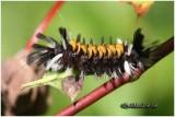 Milkweed Tussock Moth Caterpillar Euchaetes egle #8238