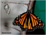LIFE CYCLE OF THE MONARCH BUTTERFLY