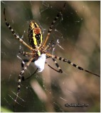 Banded Argiope-Underneath
